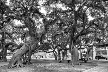 Lahaina Banyan Tree: B+W
