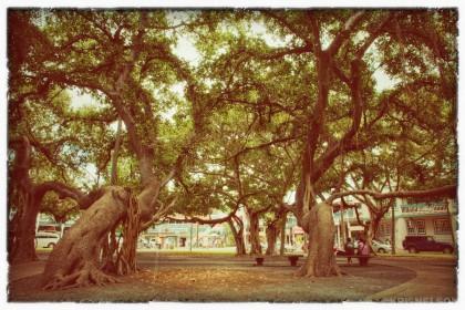 Lahaina Banyan Tree: Vintage