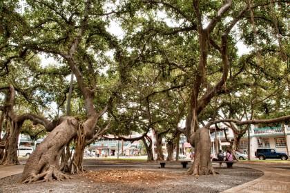 Lahaina Banyan Tree: Grunge